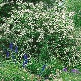 pflanzenservice gef llter schneeball viburnum opulus roseum wei bl hend 1 strauch. Black Bedroom Furniture Sets. Home Design Ideas
