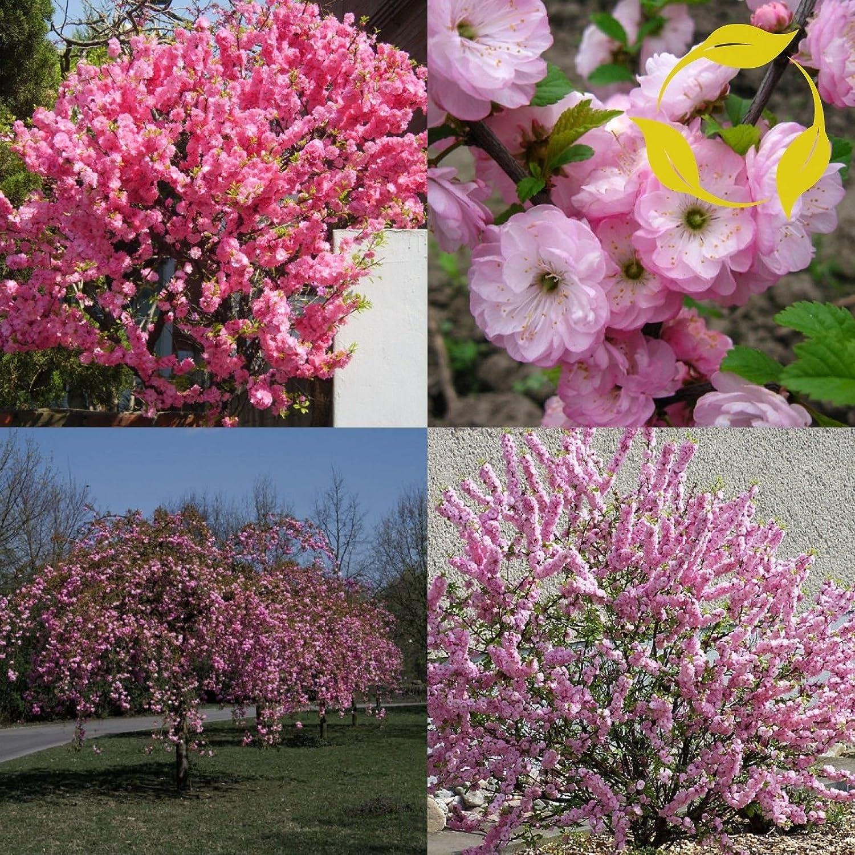 Amazon Flowering Almond Prunus Triloba 40 Seeds Garden