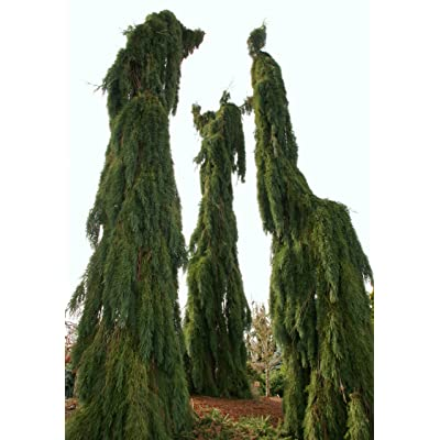 Weeping Giant Sequoia - Sequoiadendron giganteum 'Pendulum' 3 - Year Live Tree: Toys & Games