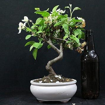 Manzano ornamental, Malus, bonsái para exterior, 8 años, altura 20 cm