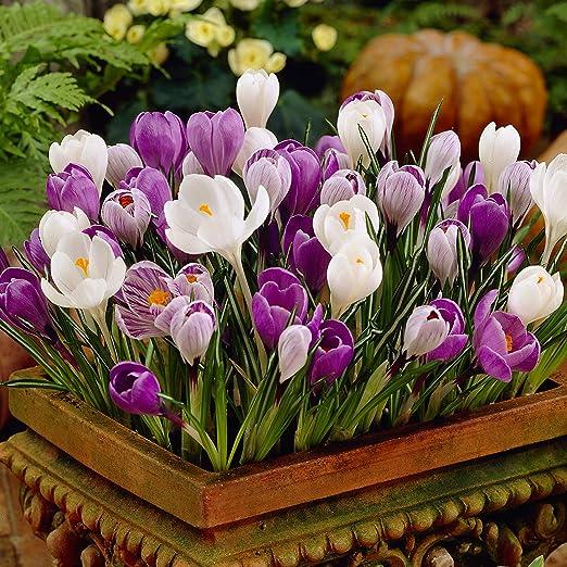 100 Crocus Assorted Colour Large Spring Flowering Garden Bulbs Amazon Co Uk Garden Outdoors