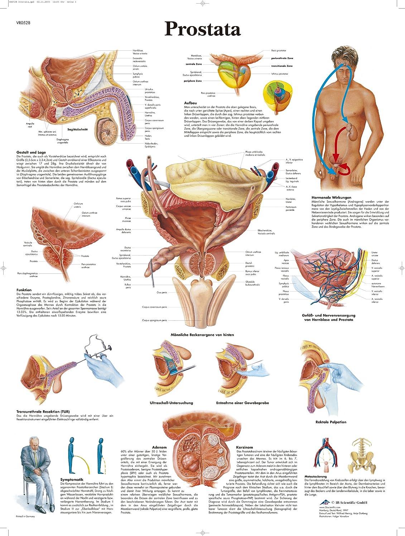Charmant Lage Der Prostata Bilder - Anatomie Von Menschlichen ...