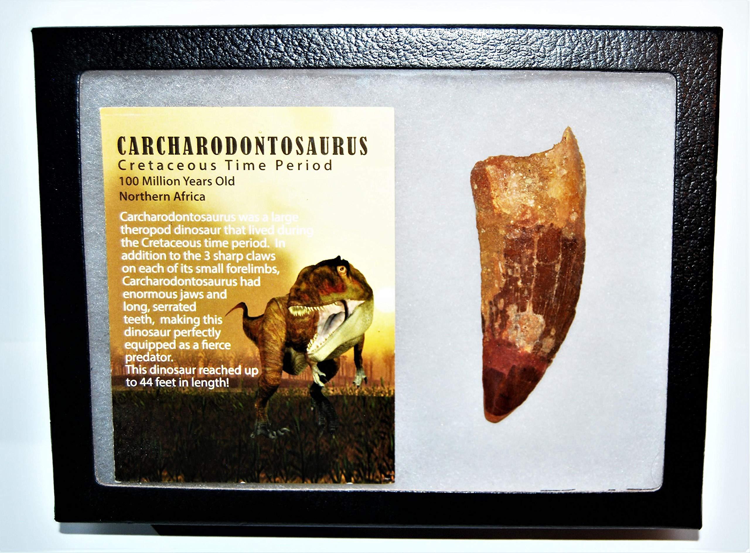 Carcharodontosaurus Dinosaur Tooth 3.551'' Fossil African T-Rex XLDB #14164 22o