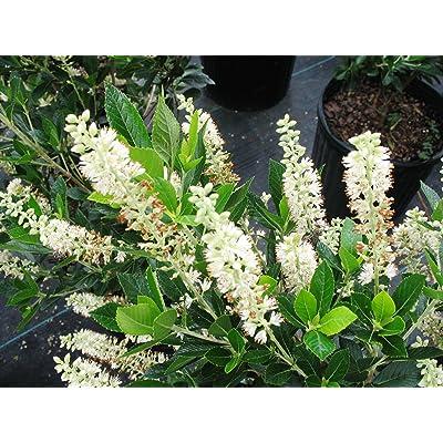 50 Seeds Clethra Alnifolia Summersweet Shrub Garden tkgre : Garden & Outdoor