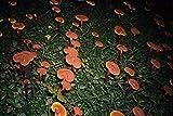 Dragon Herbs Wild Reishi Mushroom Super Potency