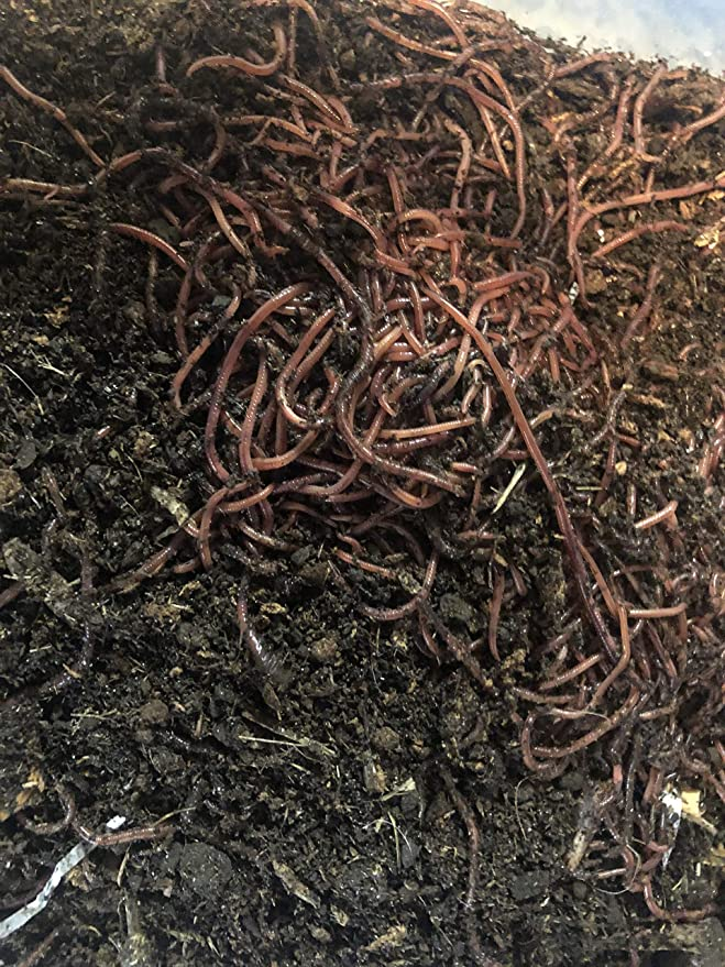 Amazon.com: HomeGrownWorms – 500 peluches rojos – Composting ...