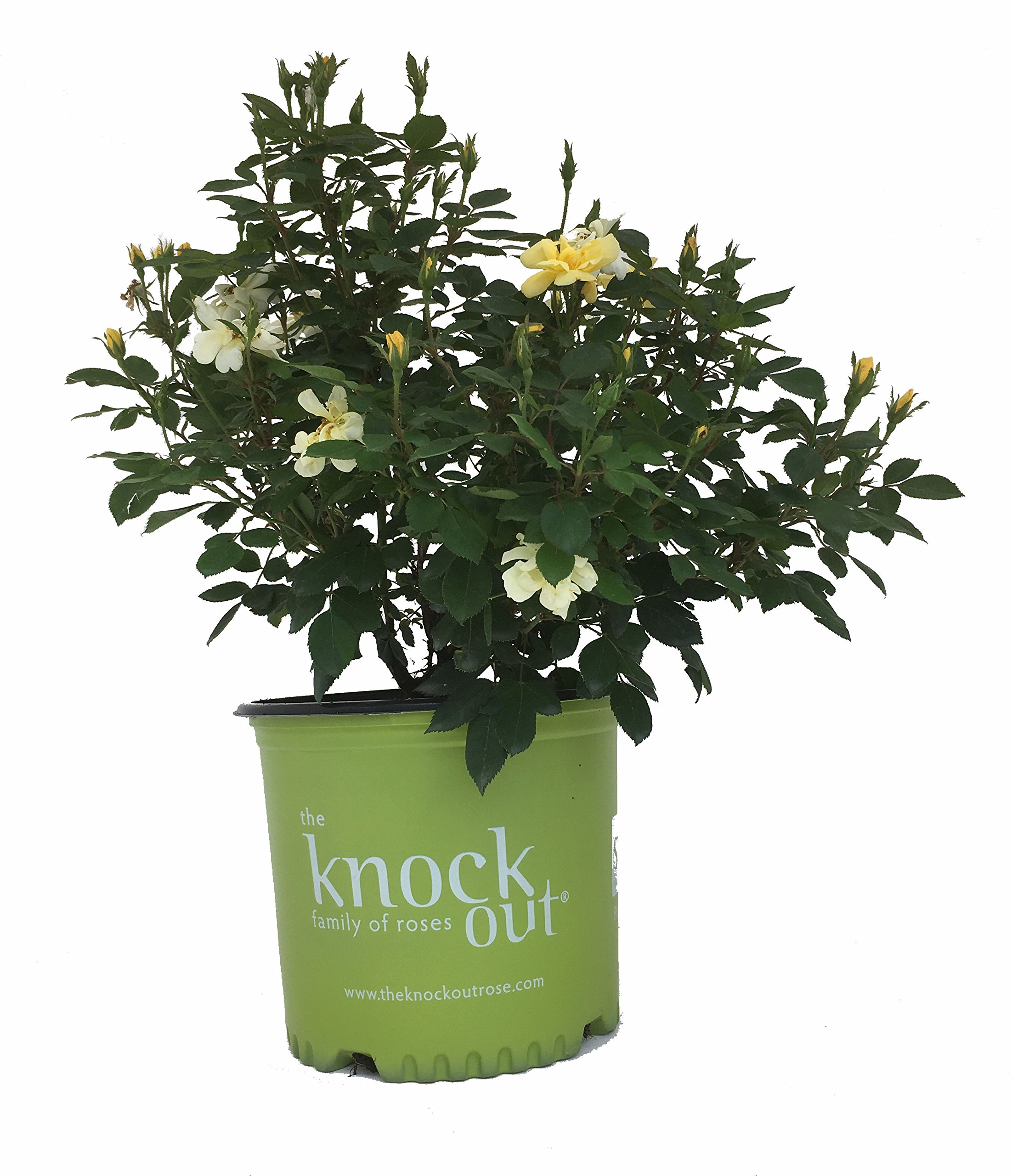 Knock Out Roses Sunny Knock Out Rose - Rose K.O. Sunny Knockout - 3 Gallon
