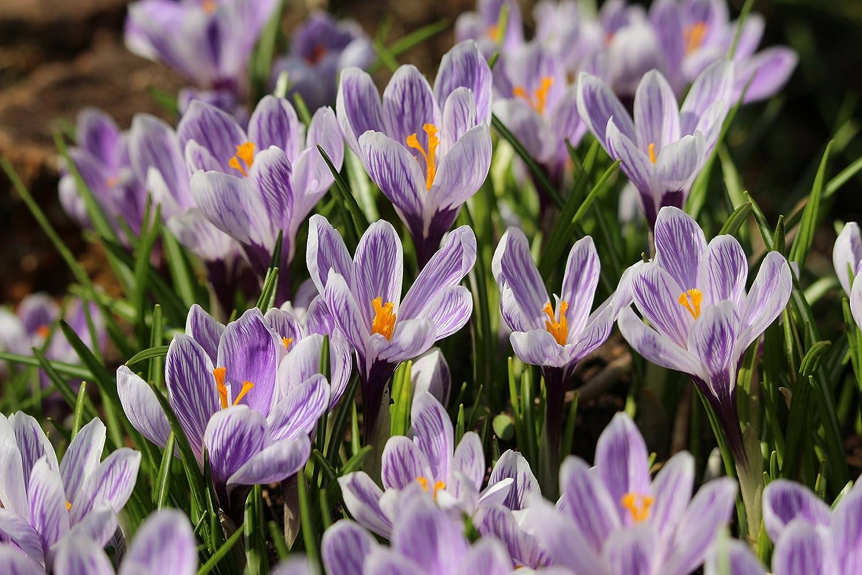 100 Großblumige Krokusse Pickwick (100 Zwiebeln) Crocus Blumenhandel Ullrich