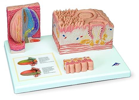 3B Scientific Menschliche Anatomie - MICROanatomie™ Zunge: Amazon.de ...