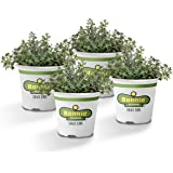 Bonnie Plants German Thyme Live Herb Plants - 4 Pack, Perennial in Zones 5 To 9, in Bouquet Garni; Aromatic Dishes
