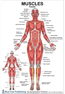 muscles female poster 12*17inch, for physical fitness, working out, muscular  system
