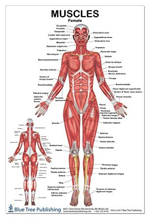 Female Muscle Anatomy Diagram - Block And Schematic Diagrams •
