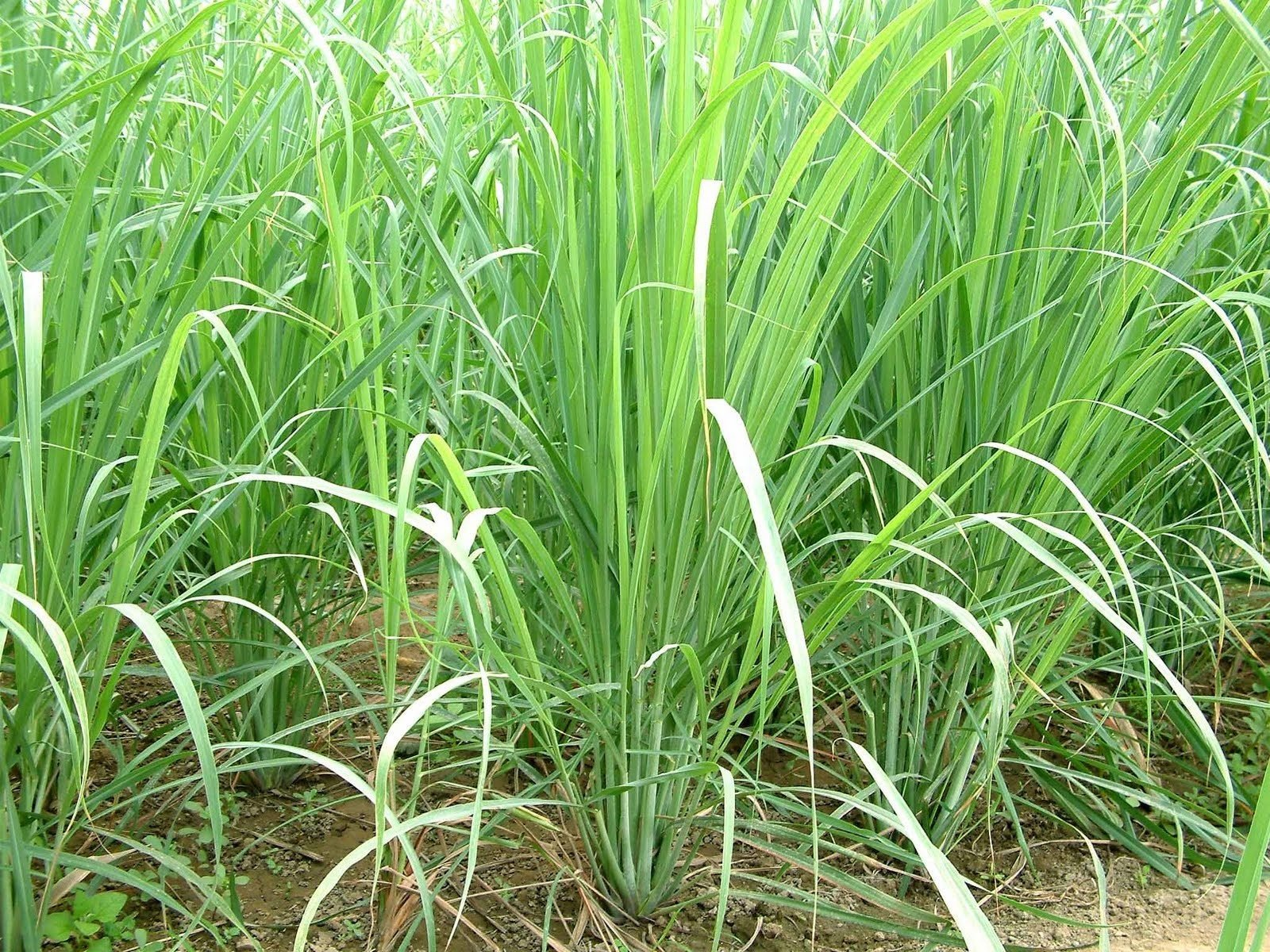 8 Plants - Organic Lemongrass - Cymbopogon citratus- Citronella - Excellent Herb by MW142 (Image #1)