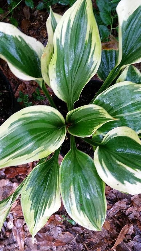 Amazoncom Set Of 2 Hostas 1 Gallon Get Two Hosta Plants
