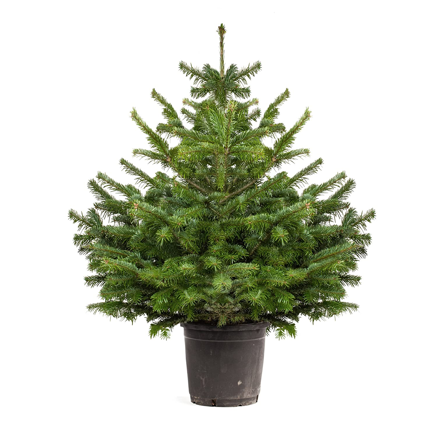 pot grown norway spruce living christmas tree 1 12 m tall - Small Live Christmas Trees