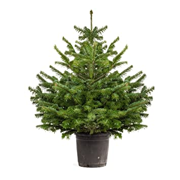 Pot Grown Norway Spruce Living Christmas Tree 1-1.2 m tall: Amazon ...