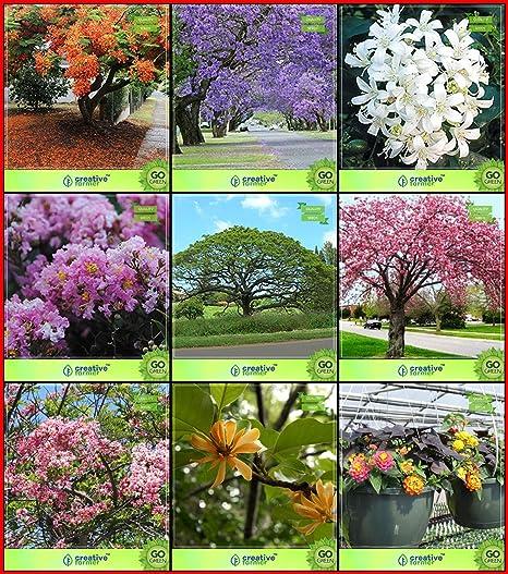 Creative Farmer Gardening Seeds Combo Tree Seeds Blue Jacaranda