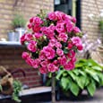 YouGarden Patio Standard Roses Bare Root, Pink (Pair)