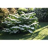 """Snowball Bush 6""""- 18"""" Viburnum plicatum 'Mariesii' - 3.5"""" Healthy Potted Plant – 3 Pack by Growers Solution"""