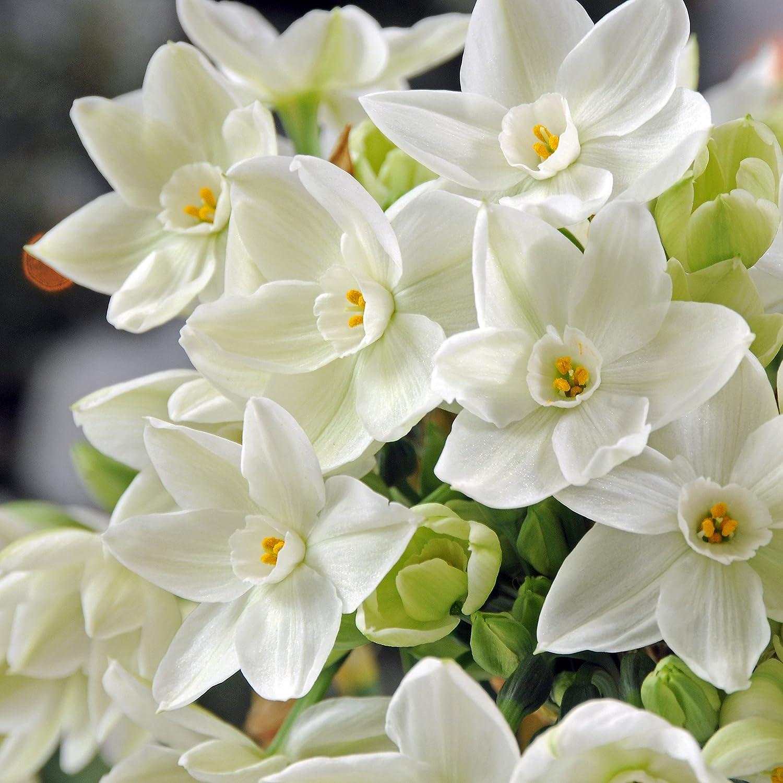 Amazon.com : Easy to Grow TM Narcissus Ziva Paperwhites, 20 bulbs ...