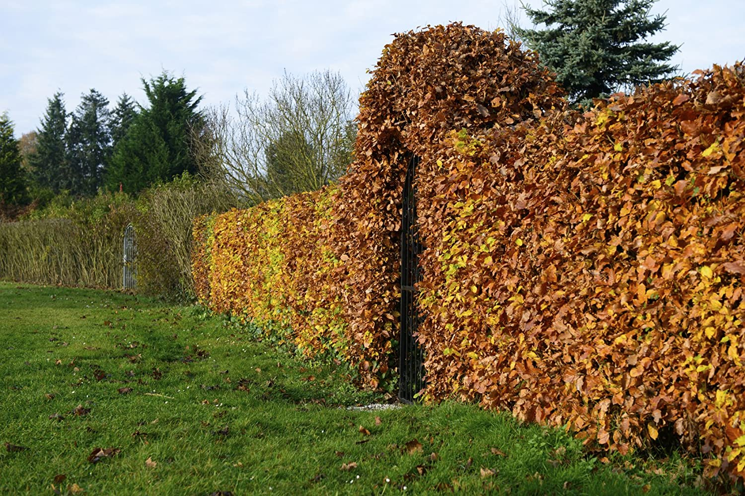 1 Green Beech Hedging Plant 3-4ft Fagus Sylvatica Trees, Copper Winter Leaves 3fatpigs® beechwoodtrees 3fatpigs®