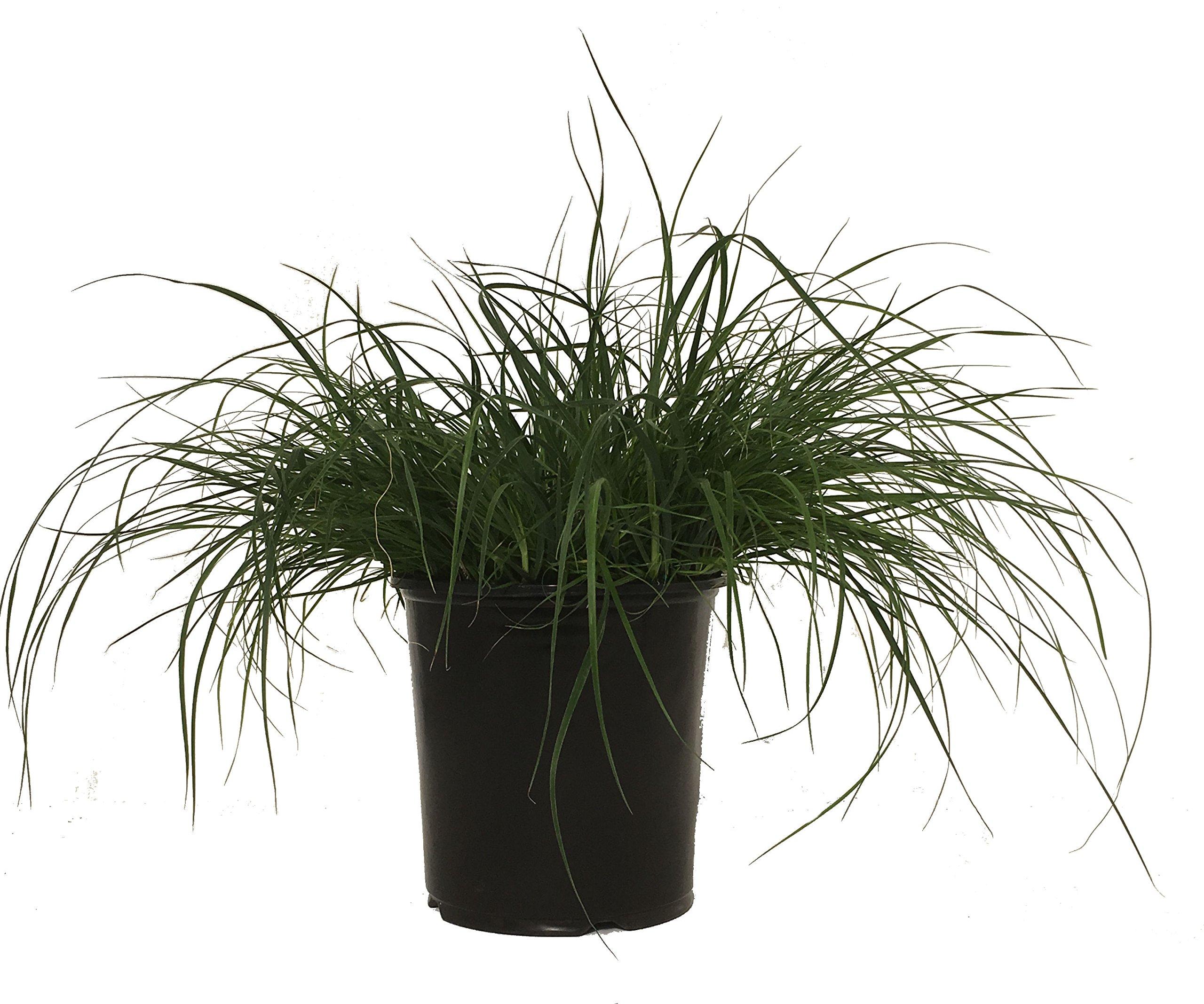 Dwarf Fountain Grass - Grass - Pe. Al. Hameln - 19cm