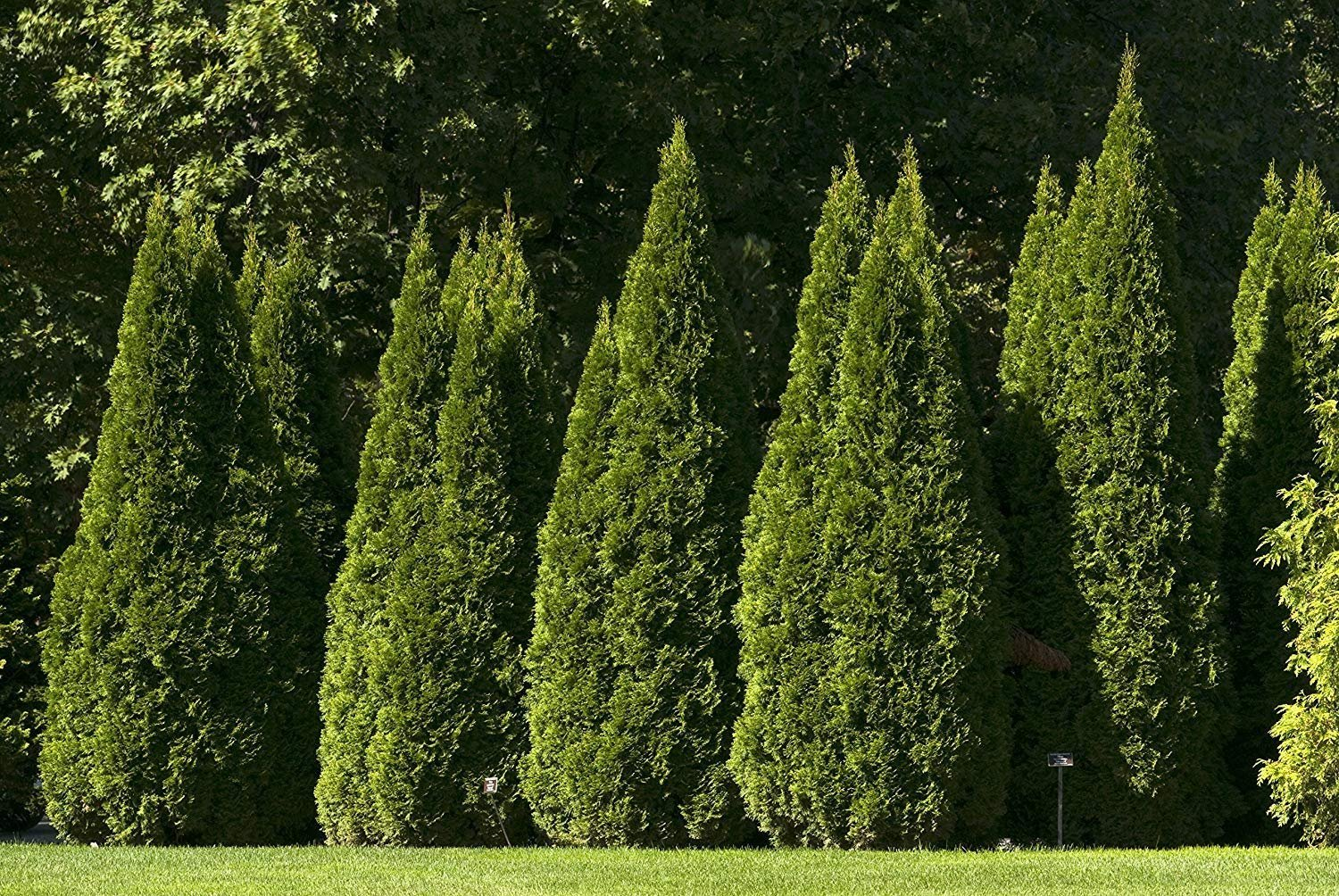 Thuja Emerald Green Arborvitae - 60 Live Plants - 2'' Pot Size - Evergreen Privacy Tree by Florida Foliage (Image #2)