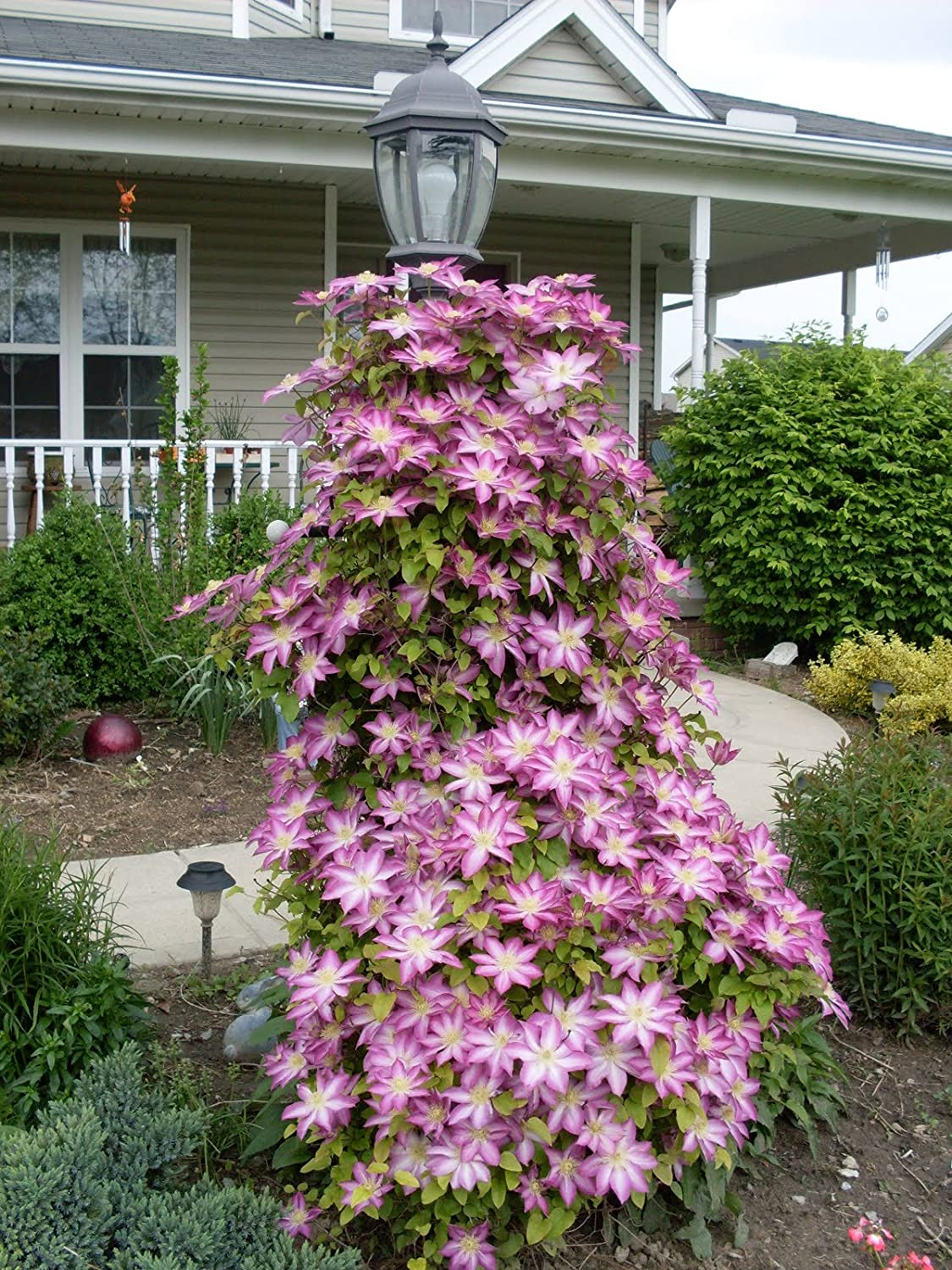 Amazon Giant Pink Clematis Queen Of The Vine 7 Seeds