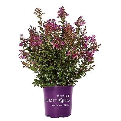 First Edition Purple Magic, 3 Gal : Garden & Outdoor