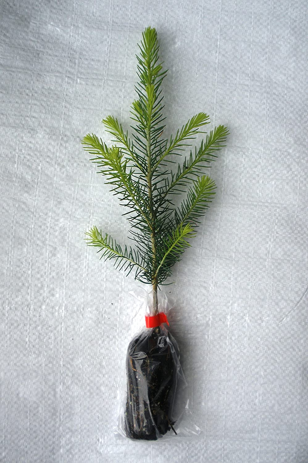 1 x Norway Spruce, Abies Picea Evergreen Christmas Tree Plug Plant Seedling. Christmas Trees For Life.