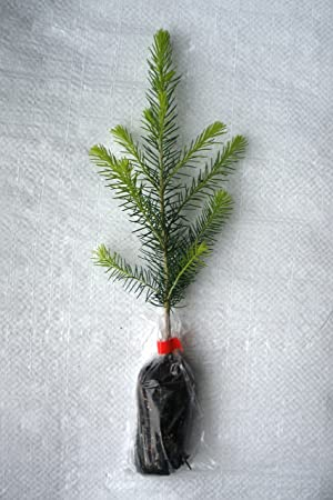 1 x Norway Spruce, Abies Picea Evergreen Christmas Tree Plug Plant Seedling. - 1 X Norway Spruce, Abies Picea Evergreen Christmas Tree Plug Plant