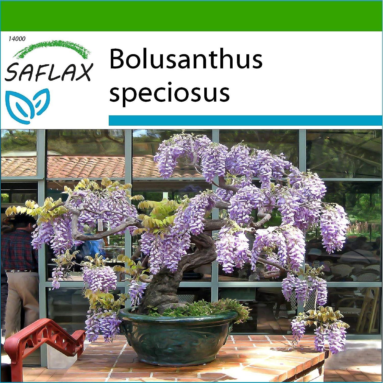 SAFLAX - Glicinia africana - 15 semillas - Con sustrato estéril para cultivo - Bolusanthus speciosus