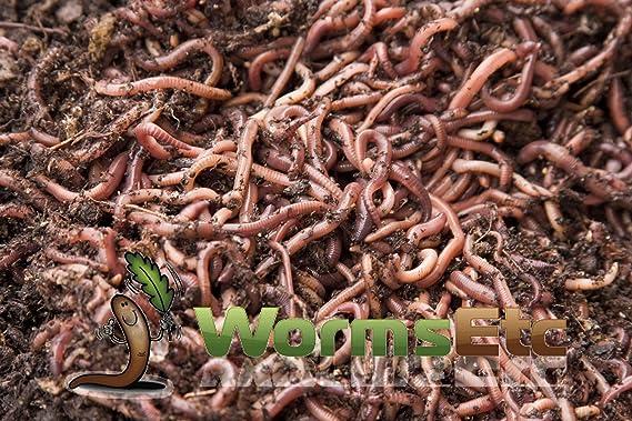 360 Cubo de compostaje (Terracota) con 1000 LIVE gusanos de ...