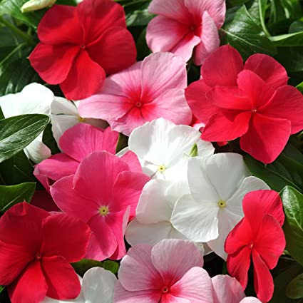 ec9de26a8661 Amazon.com  Outsidepride Periwinkle Ground Cover Plant Flower Seed ...