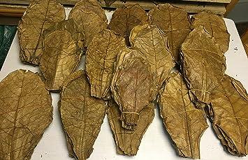 SONDERANGEBOT 1Kg Seemandelbaumblätter Terminalia Catappa Leaves Indian Almond
