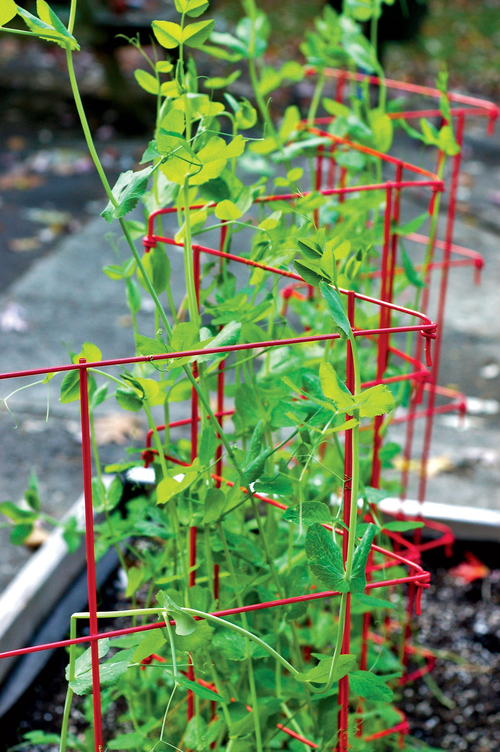 Gardener's Supply Company Expandable Pea Trellis
