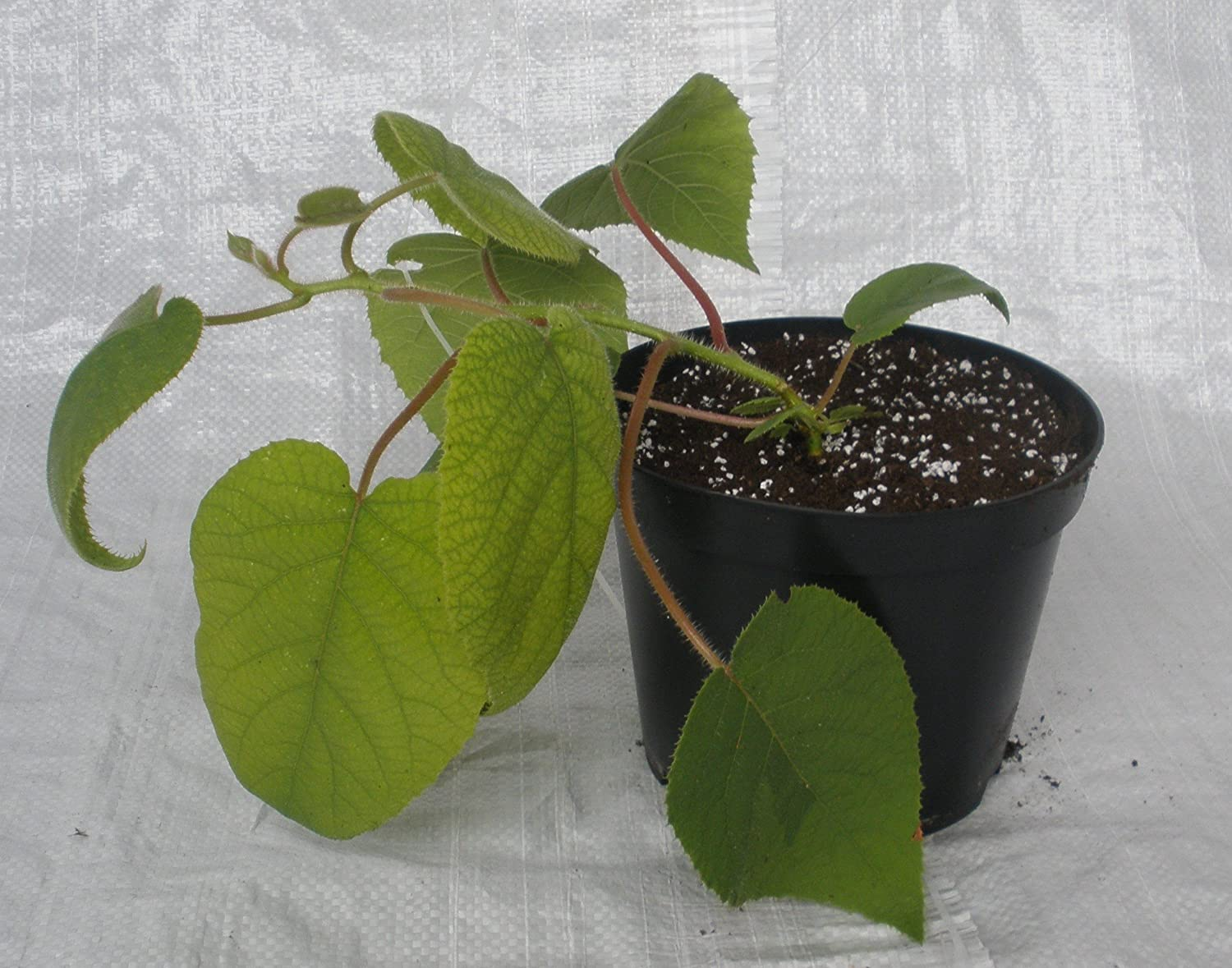 Kiwi Fruit, Chinese Gooseberry, Actinidia chinensis in 1/2 Litre Pots Plugsnplants