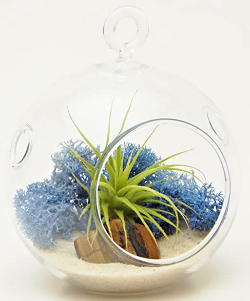 bliss gardens mini air plant terrarium kit with 3u0026quot round glass blue moss
