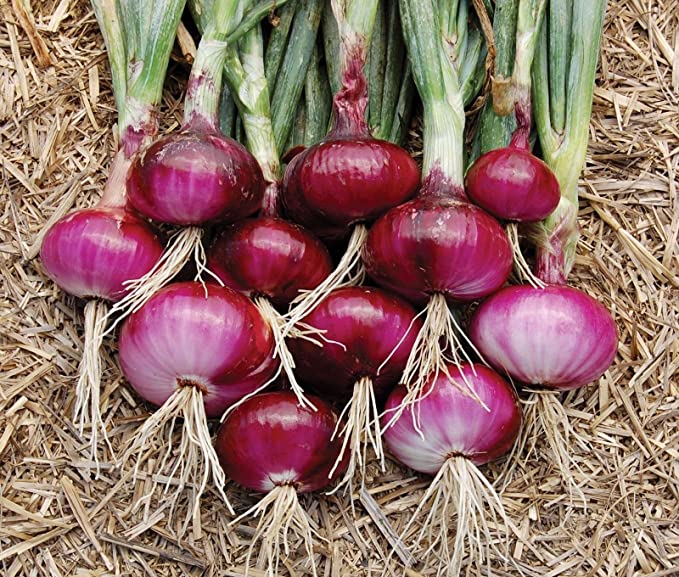 20X round shallot Onion Sets Bulbs Ready To Plant Harvest This Year Family Onion