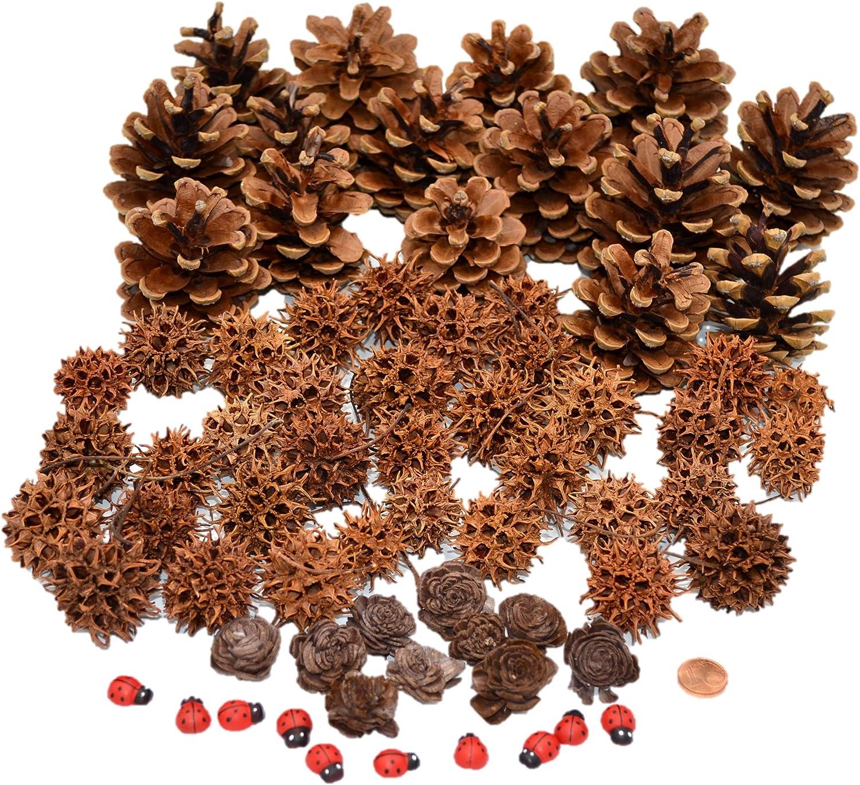 Muwse 50 Stk Schwarzkiefer Zapfen Natur trocken Deko Floristik Basteln Pinus