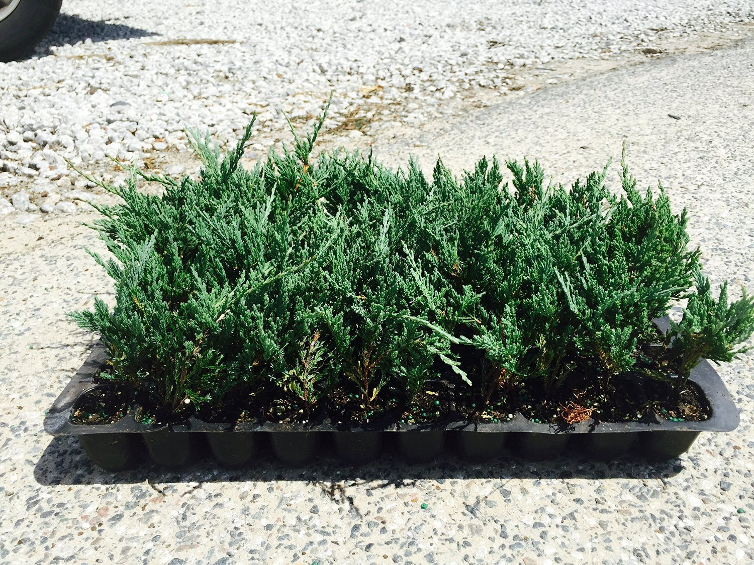Juniper Bar Harbor Qty 60 Live Plants Evergreen Ground Cover by Florida Foliage (Image #1)