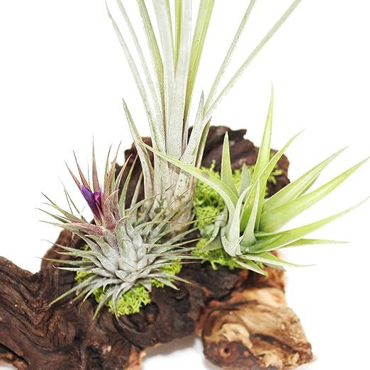Tillandsien su Mopaniwurzel 3 piante