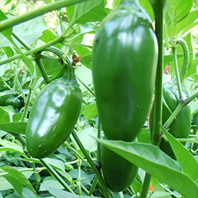 Wayland Chiles Jalapeno Grande Chile Grown in the USA, 20 Seeds : Garden & Outdoor