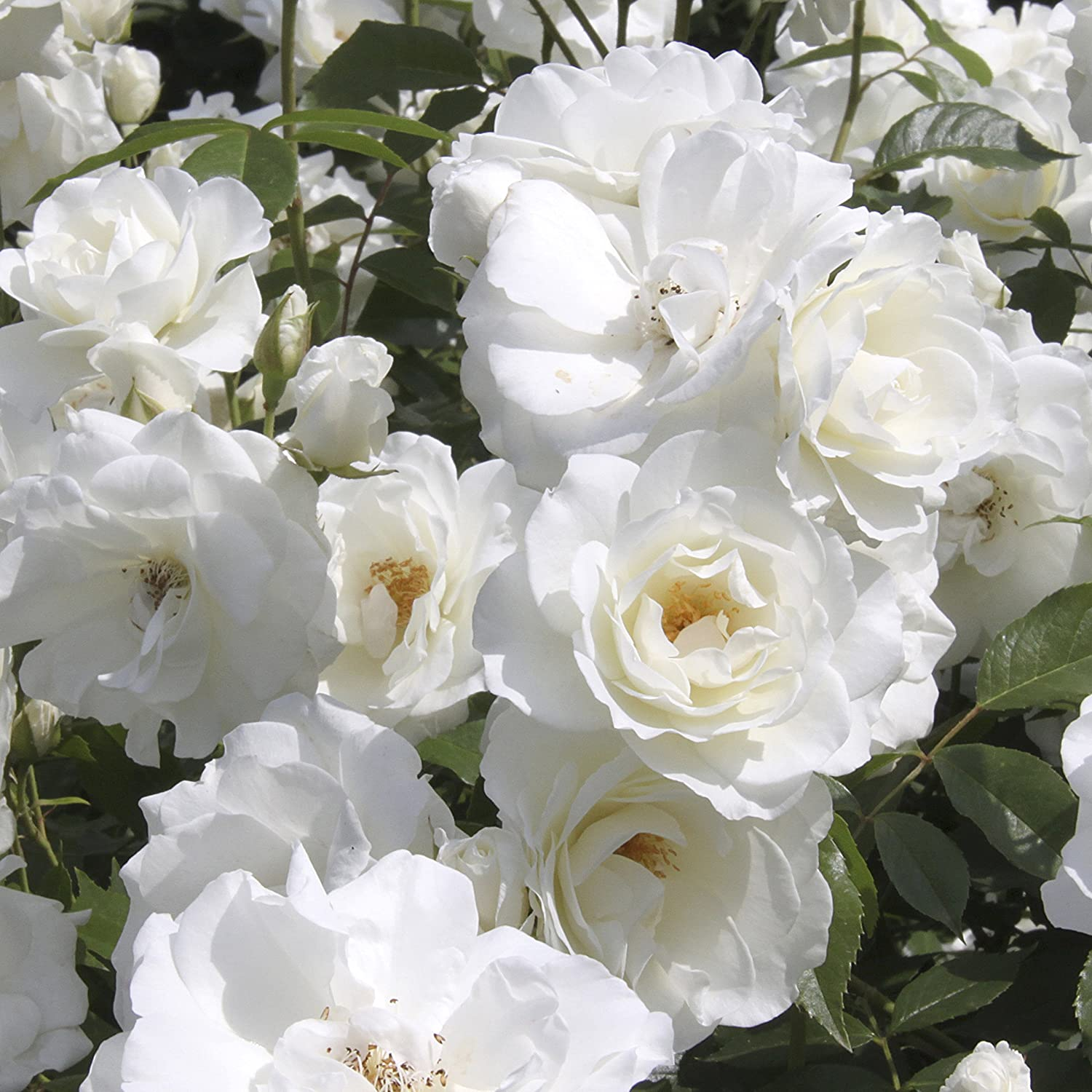 Garden Glamour Rose Bush Collection in 5 Varieties bare root Yougarden 3_530011