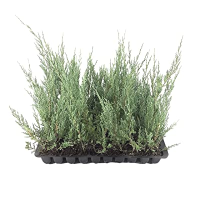 Juniper Burkii - 3 Live Trees - Juniperus Virginiana - Evergreen Screening Red Cedar : Garden & Outdoor