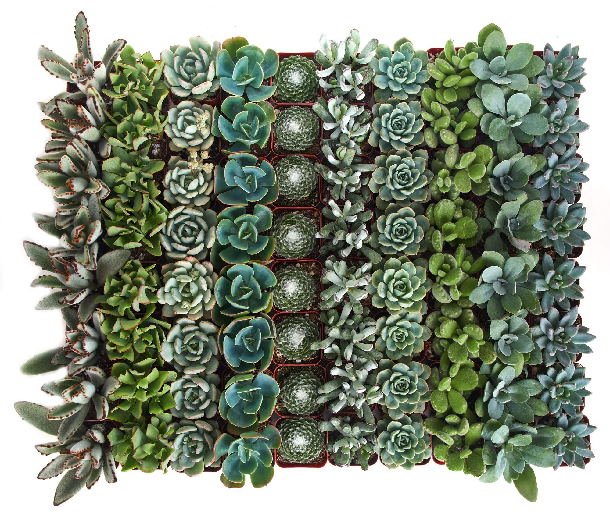 Shop Succulents | Blue/Green Collection of Live Succulent Plants, Hand Selected Variety Pack of Mini Succulents | Collection of 40 in 2'' pots