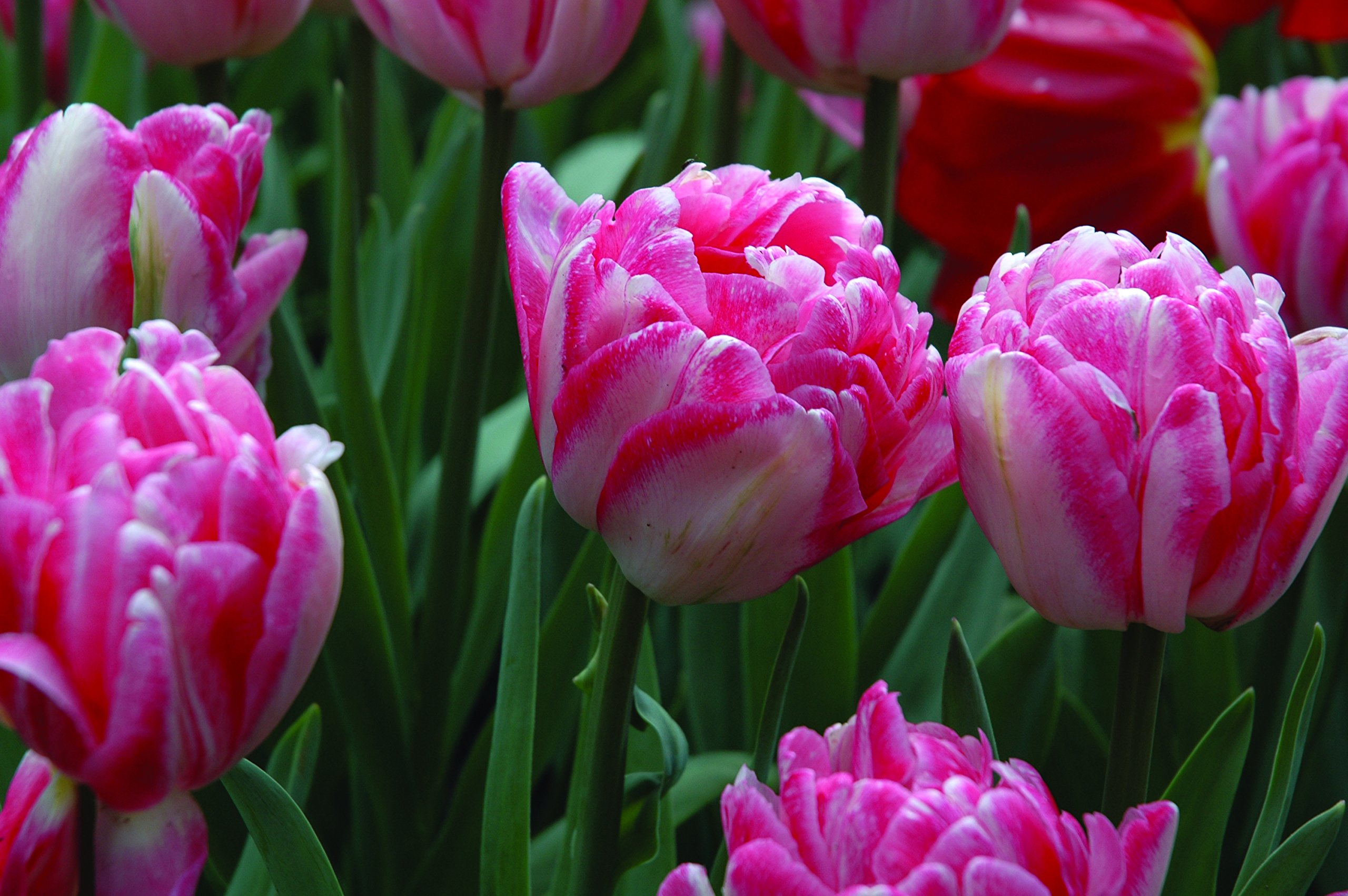 Burpee's Foxtrot Tulip - 10 Flower Bulbs | Double Pink and Rose | 12 - 14 cm Diameter