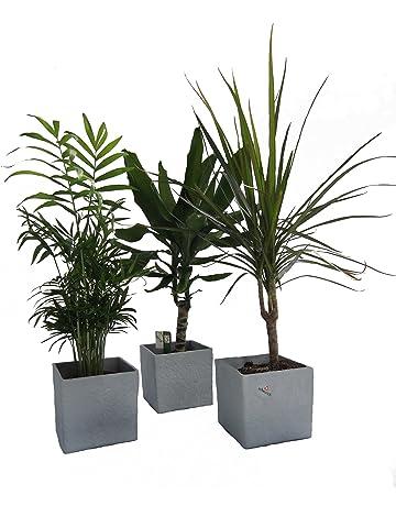 Zimmerbaume Amazon De