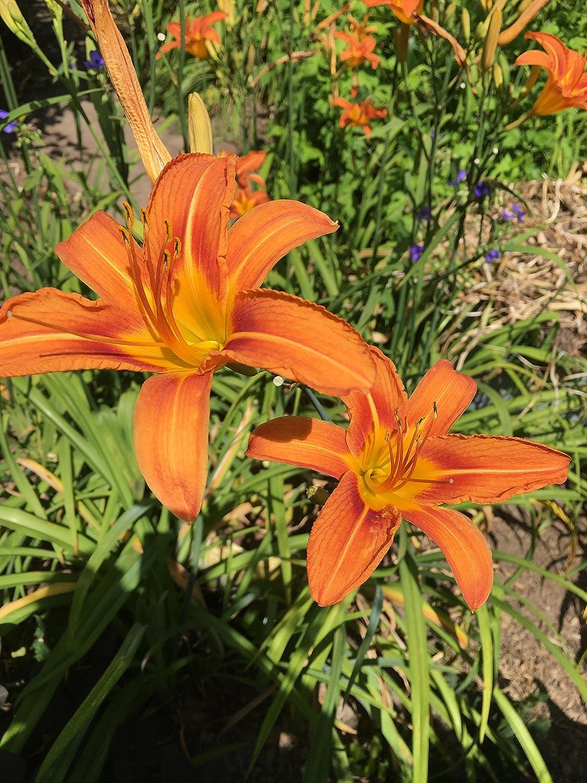 Amazon 25 Wild Day Lily Bulbsroot System Hemerocallis Fulva