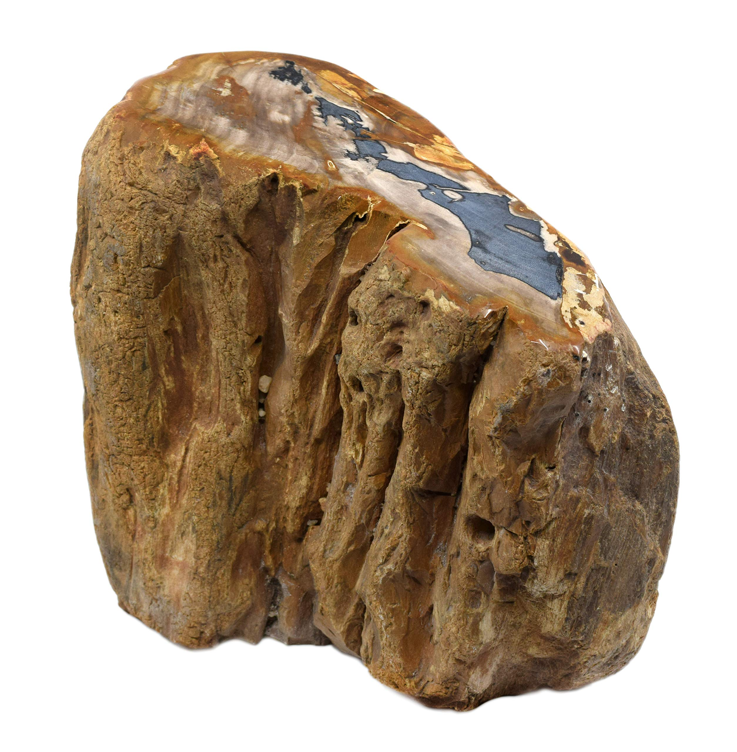 Petrified Wood, 24lbs - Freeform Piece with Polished, Angled Cross Section Cut - 100% Authentic Fossilized Wood - The Artisan Mined Series by hBAR